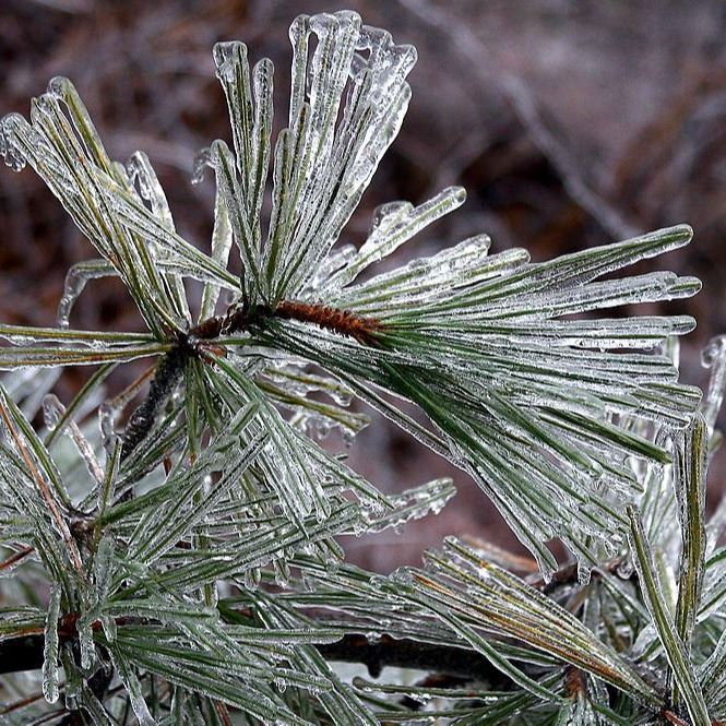 Icy pine tree (Pinus sp.) branches after an ice storm; Boxborough, Massachusetts